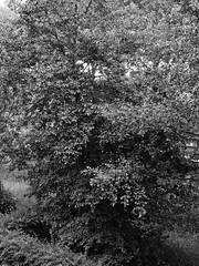 Boom (ericderedelijkheid) Tags: bomen trees boom