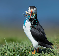 Hoping we get the message! (Gary McHale) Tags: puffin sand eel pollution discarded nylon rope fishing gary mchale lunga ngc npc coth5 marine plastic