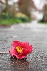 95/365 fallen flower (embem30) Tags: 2018 365 3659 project365 flowers camellia