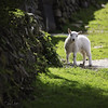 Spring Time Cuteness (~g@ry~ (clevedon-clarks)) Tags: lamb snowdonia beddgelert village wales spring