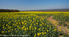 Portsdown Hill Colour (maggiehickish) Tags: rapeseed hampshire yellow fieldsofgold