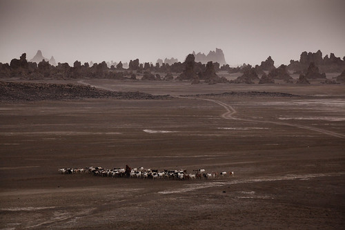 Sheep herding at Lake Abbe