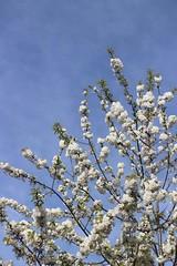 23/04/2018 Blossom (Pat's_photos) Tags: tree blossom 3652018