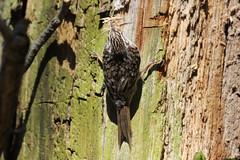 Treecreeper (Edwyn Anderton) Tags: treecreeper peakdistrict padleygorge padley longshaw longshawestate