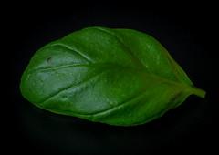 Basil leaf (frankmh) Tags: basil basilica leaf hittarp skåne sweden macro