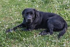 My faithful black friend. (Ciminus) Tags: ciminus dog fujifilmxt2 ciminodelbufalo labradornero xf1855f284rlmois