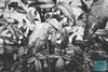 Week 17: Earth Day (bmurphy502) Tags: earthday earth rain plants nandina waterdrops bnw blackandwhite water nature bush tree spring drops new samsungs8 world springtime closeup
