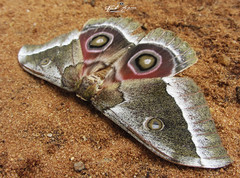 MARIPOSA_POSANDO_PARA_A_FOTO_BALAMA_CABO_DELGADO_MOÇAMBIQUE (Gonimbrasia belina) (paulomarquesfotografia) Tags: paulo marques canon powershot sx220 hs traça mariposa gonimbrasia belina macro bokeh borboleta animal insecto butterfly