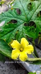 করলা ফুল (Ananda MOHAN Shil) Tags: mobile photography click samsung love na5 nature green tree
