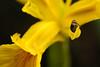 DSC_0327 (Michi (Friuli)) Tags: michi berini nikon d700 macro af60 micro g ed selvuzzis primavera 2018 percoto friuli friuliveneziagiulia insetto fiore giallo polline pistilli erba verde giardino
