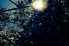 Sunny garden (mikołajhojda) Tags: sun light sunshine sky blue yellow navy fruit tree garden flower branch leaves nature day