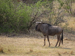 Blue Wildebeest / Blou Wildebees (Pixi2011) Tags: wildlife krugernationalpark nature africa animals