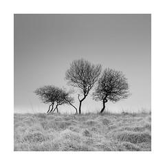 It's a family affair (Nick green2012) Tags: dartmoor blackandwhite landscape minimal mist trees