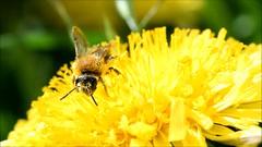 Bee on Dandelion (phagileo) Tags: bee dandelion biene löwenzahn video flower macro nature film movie wildlife nectar animal germany europe plant outdoor sigma105mm documentary
