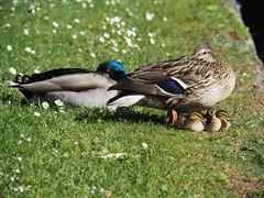 Schlosspark Nymphenburg (RS_1978) Tags: vögel wildtiere olympuspenf wirbeltiere tiere animals animaux aves birds craniota schädeltiere vertebrata vertebrates wildlife münchen bayern deutschland de