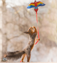 red squirrel holding a kite in the air (Geert Weggen) Tags: kite aviator airman flier dragon animal backlit bright cheerful closeup cute humor mammal nature photography red rodent sport squirrel sun square redsquirrel walk play matchsport nopeople competition winning championship lowangleview midair sportsevent sportsvenue skateboarding skateboard skatesportsfootwear wheel balance extremesports motion citylife plank activity childhood enjoyment equipment leisureactivity relaxation singleobject speed street stunt summer transportation fly air bispgården jämtland sweden geert weggen hardeko ragunda