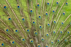 Mosaic (mlomax1) Tags: 80d canoneos80d eos80d eyes peacock waltonhallgardens warrington bird canon display outdoor mosaic