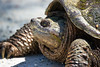 snapping turtle (Black Hound) Tags: sony a500 tamron 150600mm bombayhooknwr turtle snappingturtle