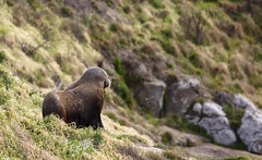 Katiki Point Lighthouse & Seal Colony (mirsasha) Tags: 2018 newzealand katikipointlighthouse sealcolony april moeraki otago nz