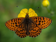 Boloria euphrosyne (Kalmár_Zsuzsanna) Tags: olympuse620 macro nature natur natura butterfly mariposa schmetterling insect insekt insecto animal tier boloriaeuphrosyne
