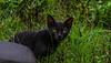 2015 Penghu, Taiwan (qaz741qhn) Tags: cat canon canon70d taiwan 貓 猫 澎湖 animal black natural 台湾 台灣 cute