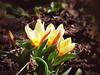 Tulips (R_Ivanova) Tags: nature flower flowers tulips tulip plant garden outdoor spring colors color white red sony rivanova риванова цветя природа пролет градина цвят лале