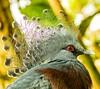Victoria crowned pigeon (Goura victoria) (metsemakers) Tags: duif waaierduif pigeon victoriacrowned sony a58 bokeh animal bird kleincostarica