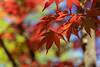 japanese maple :) (www.mroosfotografie.nl) Tags: sony a7 iii maple japanese spring den haag japanse tuin sun leave colors