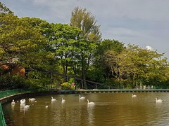 Swans meeting by the splashboat!😊 (LeanneHall3 :-)) Tags: splashboat lake swans white feathers eastpark hull kingstonuponhull trees branches green leaves blue sky clouds landscape samsung