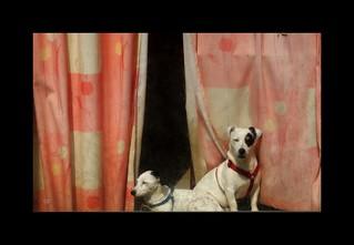 Deux chiens dans la vitrine...