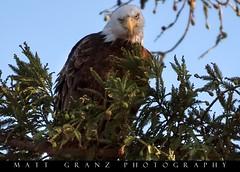 The Stare Down (Matt Granz Photography) Tags: baldeagle raptor birdofprey nationalemblem california milpitas aviary tree nikond750 nikon200500mm mattgranzphotography city urban wildlife