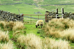 Bleak but beautiful Landscape (jdathebowler Thanks for 1.7 Million + views.) Tags: uppernidderdale northyorkshire nearpateleybridge drystonewall countryside gatedpath stile moorland landscape ewe grazingsheep