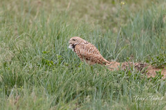 Burrowing Owl warns off a passing hawk