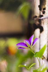 Clematis (St1908) Tags: zeiss60mmmacro blume flower makro macro bokeh carl zeiss splanar 60mm farben colors contax yashica vintage lens