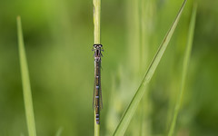 tribal (Emma Varley) Tags: damselfly spring westsussex top head mask face southwatercountrypark