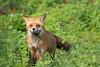 A beauty (Beth Bennett & Gérard Cachon) Tags: pennsylvania bala cynwyd trail den kits cubs vixen fox foxes animal wild renard volpe zorro