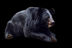 India - West Bengal - Darjeeling - Himalayan Zoological Park - Black Bear - 1d (asienman) Tags: india westbengal darjeeling himalayanzoologicalpark blackbear asienmanphotography asienmanphotoart