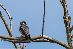 9Q6A3698 (2) (Alinbidford) Tags: alancurtis alinbidford birdofprey brandonmarsh hobby nature wildbirds wildlife