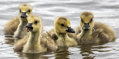 Ducklings (OnTheMarkPhotos.com) Tags: bird birds duck ducks canadian ducklings nature colorado cute