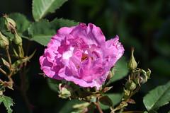 DSC_0001 (PeaTJay) Tags: nikond750 sigma reading lowerearley berkshire macro micro closeups gardens outdoors nature flora fauna plants flowers rose roses rosebuds