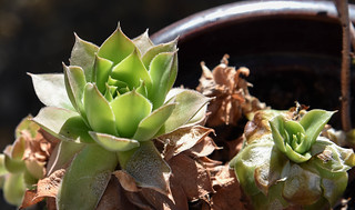 Hen & Chicks