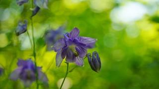Ancolie /  Aquilegia vulgaris flower