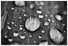 Mia (Matías Brëa) Tags: gotas lluvia rain drops blancoynegro blackandwhite byn bw bnw macro naturaleza nature