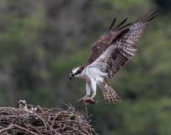 Osprey Series (Eric_Z) Tags: ospreys nesting food fish canoneos7dmkii ef100400mmf4556lisiiusm britishcolumbia canada