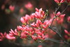 Azalea / Rhododendron / 躑躅(つつじ) (TANAKA Juuyoh (田中十洋)) Tags: 5d markii hi high res hires resolution 高精細 高画質 tochigi kanuma awano shiroyama kouen park 栃木 鹿沼 とちぎ かぬま 粟野城山公園 あわのしろやまこうえん azalea rhododendron 躑躅 つつじ ツツジ bud 蕾 つぼみ