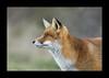 Red fox (vulpes vulpes). (@BlackIslePhoto) Tags: