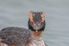 Horned Grebe (Joe Branco) Tags: nikond850 waterfall joebrancophotography branco joe wildlifephotography wildlife nikon hornedgrebe green