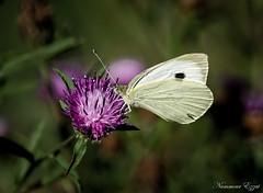 piéride du chou (9) (Ezzo33) Tags: france gironde nouvelleaquitaine bordeaux ezzo33 nammour ezzat sony rx10m3 parc jardin papillon papillons butterfly butterflies piéride du chou