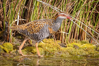 a buff-banded rail