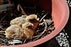 Tórtolas (Zenaida auriculata) (Javiera C) Tags: tórtola dove chileaneareddove zenaidaauriculata family santiago chile familia chicks pollitos sequence secuencia home hogar planter macetero growing creciendo hermoso beautiful